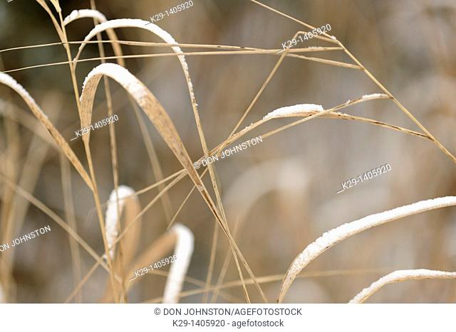 A dusting of snow on dead grasses