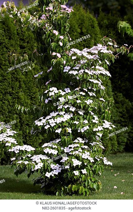 Chinese Dogwood (Cornus kousa var. chinensis) in full of bloom in a garden - Bavaria/Germany