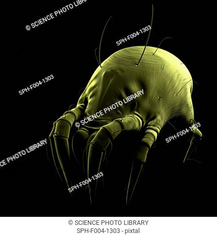 Dust mite. Computer artwork of a house dust mite Dermatophagoides pteronyssinus
