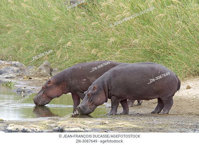 Hippopotamuses (Hippopotamus amphibius) drinking water at the Olifants River, Kruger National Park, South Africa, Africa