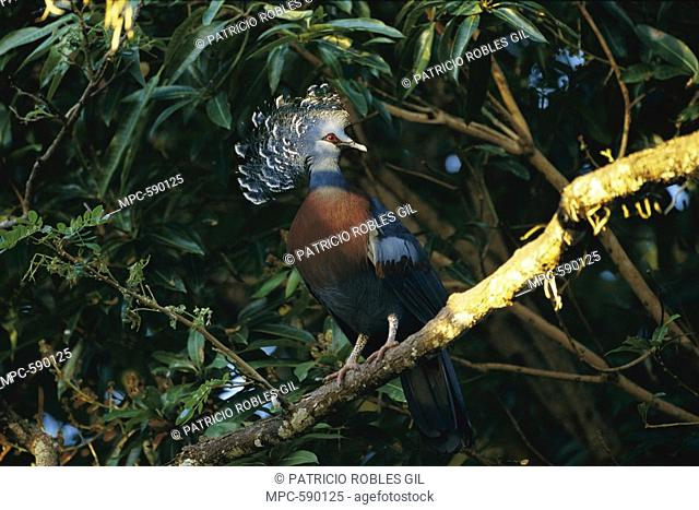 Victoria Crowned Pigeon Goura victoria, perching in tree, Papua New Guinea