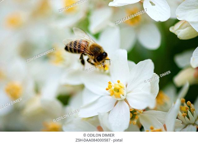 Bee gathering pollen on white flowers