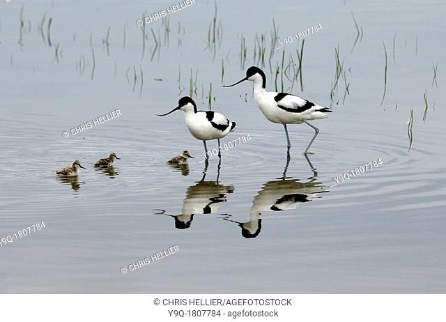 Couple or Family of Avocets & Chicks on Lake or Etang de Vaccarèes Camargue France