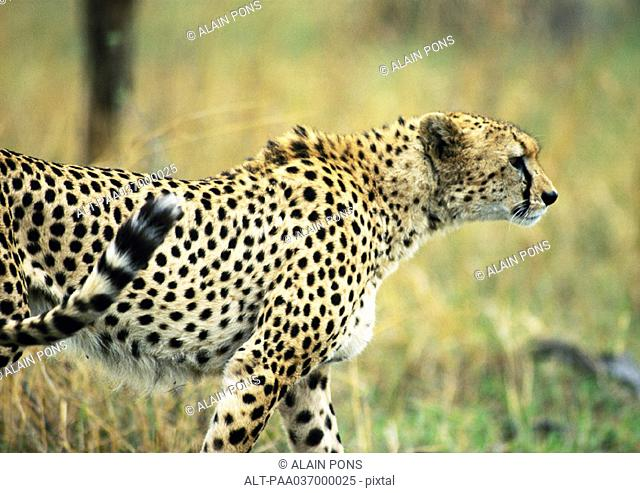Africa, Tanzania, cheetah, side view