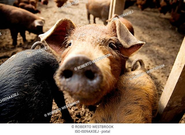 Pigs on farm, close-up