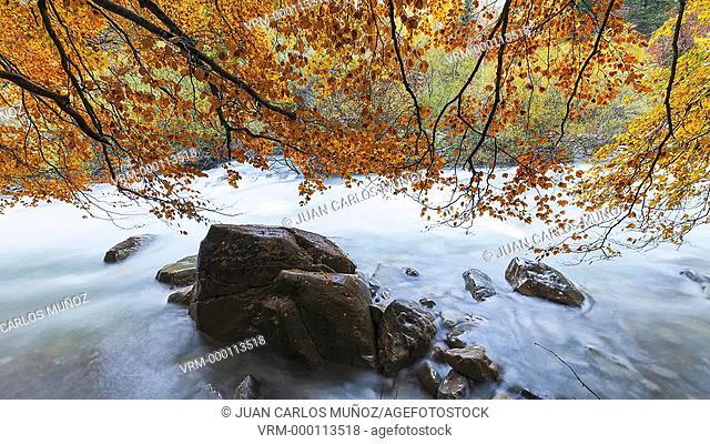 Beech in autumn, Arazas River, Ordesa National Park, Huesca, Spain