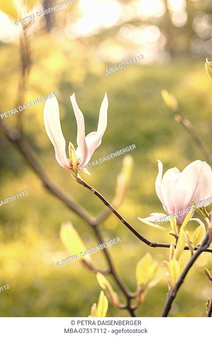 Close-up of a magnolia bush