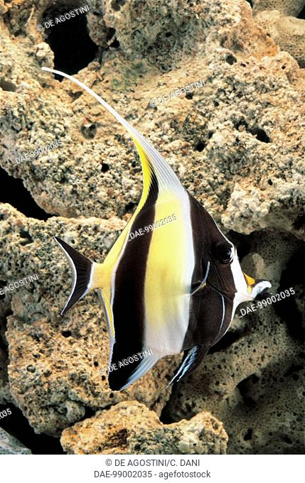 Aquarium fish - Acanthuridae - Moorish Idol (Zanclus canescens)