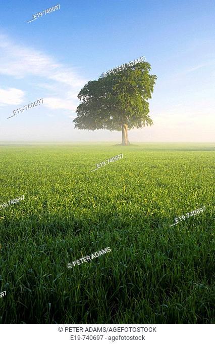 Spring tree in field, Gloucestershire, UK