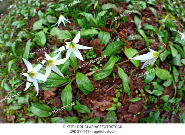 White Fawn lilies (Erythronium oregonum), Pipers Lagoon Park, Nanaimo, BC
