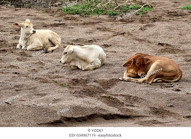 Image of a cow on sand background