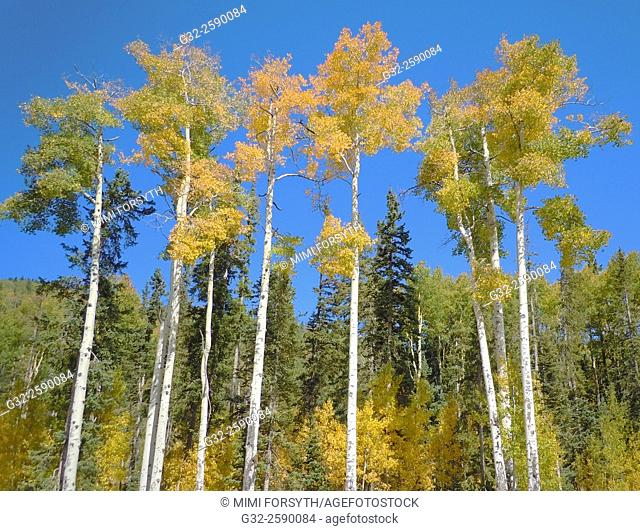 Aspen trees among conifers turn golden in Autumn, New Mexico, USA