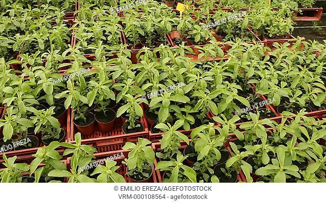 Production of Stevia Sweet plant. Balaguer, Lleida, Catalonia, Spain