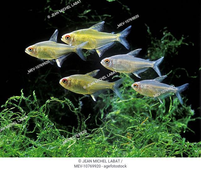 Aquarium Fish - Lemon Tetra (Hyphessobrycon pulchripinnis)