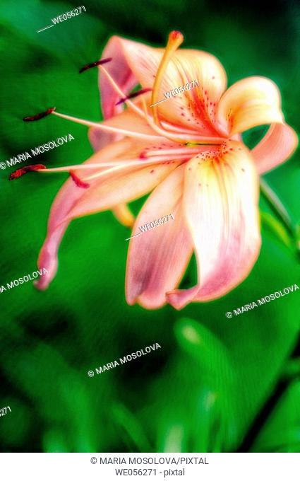 Asiatic Lily (Lilium hybrid, asiatic). June 2006. Maryland, USA