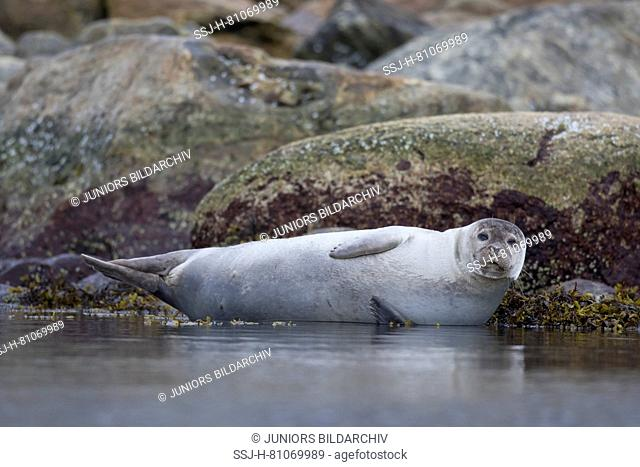 Harbour Seal (Phoca vitulina). Adult resting on a rock at the shore. Svalbard, Norway