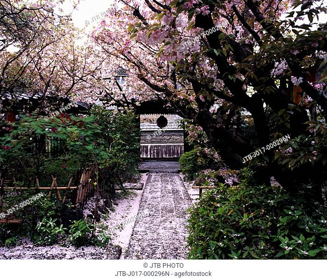 Uho-in, Temple, cherry blossoms, Kyoto, Kyoto, Japan, Kinki, Flower, Plant