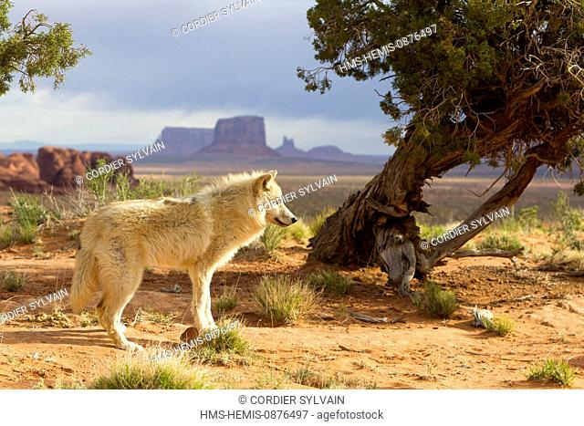 United States, Arizona, Monument Valley Tribal Park, Wolf or Gray Wolf orTimber Wolf (Canis lupus)