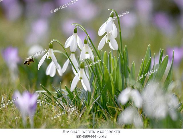 Honey bee (Apis) on snowdrop (Galanthus nivalis) and crocus (Crocus) purple, Stuttgart, Baden-Württemberg, Germany