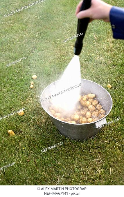 Potatoes in a bucket washed with a hose Sweden