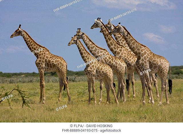herd of african giraffes