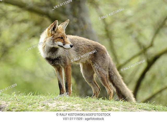 Red Fox / Rotfuchs (Vulpes vulpes) stands on a little hill, looks back over its shoulder, bright green spring colors, atmosphere.