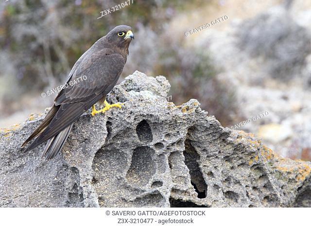 Eleonora's Falcon (Falco eleonorae), dark morph adult perched on a rock