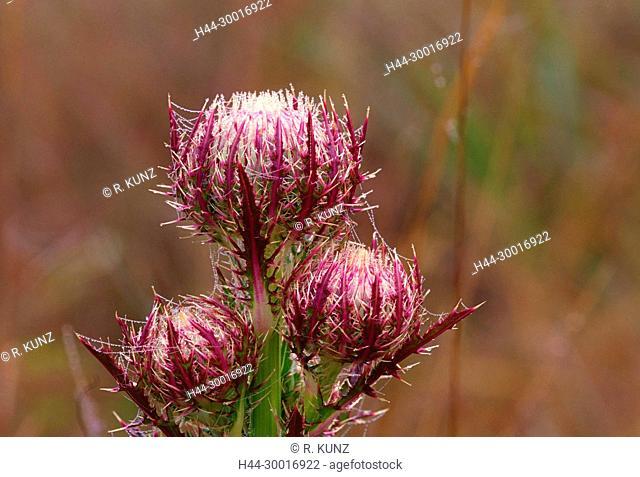 Purple Thistle, Cirsium horridulum, Asteraceae, thistle, flower heads, spines, silk of spider, dewdrops, plant, Everglades National Park, Florida, USA