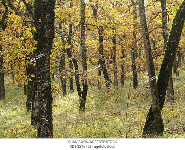 Pendunculate Oak, Quercus robur, grove in autumn west of Tournon dâ. . Agenais, Lot-et-Garonne Department, Nouvelle Aquitaine, France