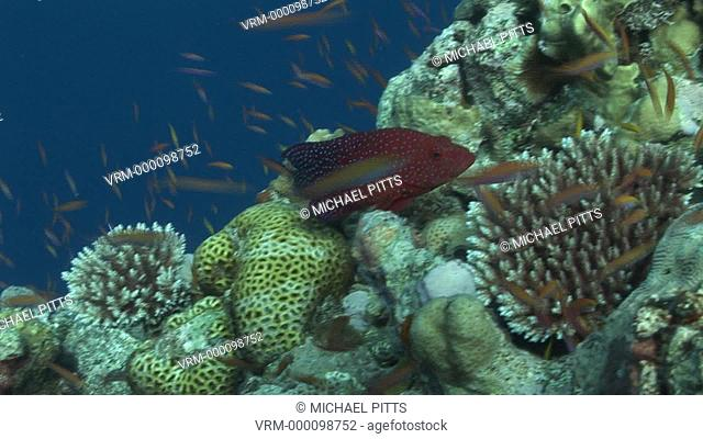 RM spotted fish species currently unknown on coral. Yap Island, Pacific