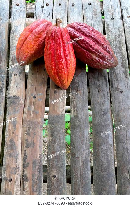 Cacao fruit, which is the main ingredient for chocolate