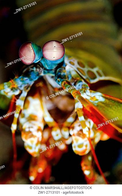 Smashing Mantis Shrimp (Odontodactylus scyllarus), Sedam dive site, Seraya, Bali, Indonesia