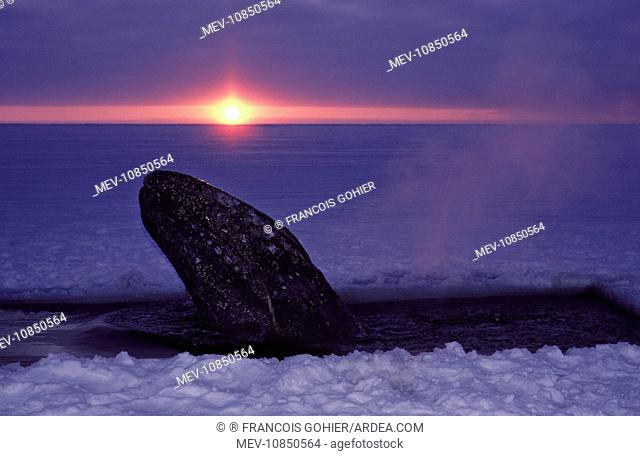 Grey WHALE - trapped in ice, hole cut by people attempting rescue. (Eschrichtius robustus). Barrow, Alaska, October 1988