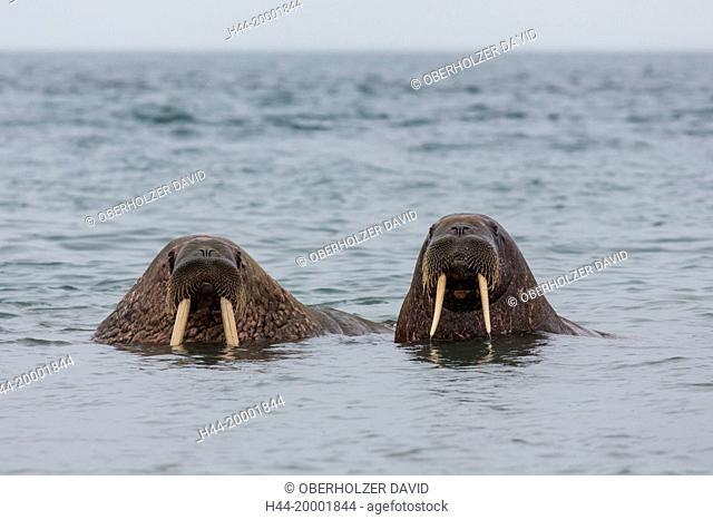Spitsbergen, walruses