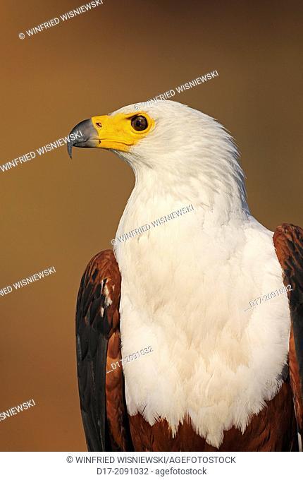 African fish eagle (Haliaetus vocifer) at the river banks of Chobe River. Botswana