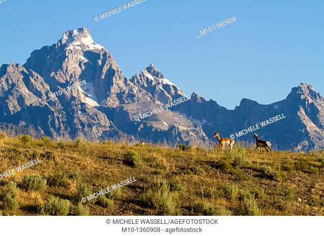 Proghorn Antelopes taking in the view of the Grand Tetons, USA