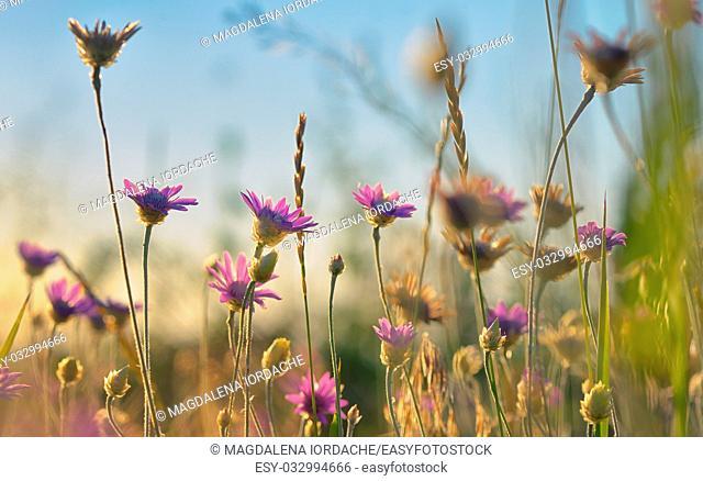 Xeranthemum annuum flower in summer time