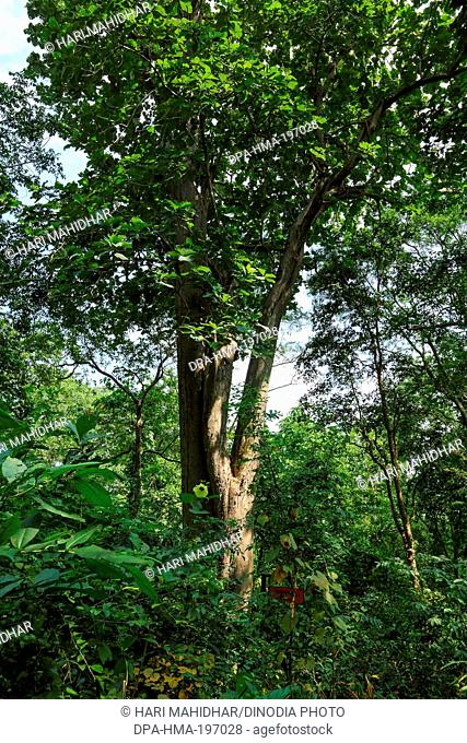 Tree, bastar, chhattisgarh, india, asia