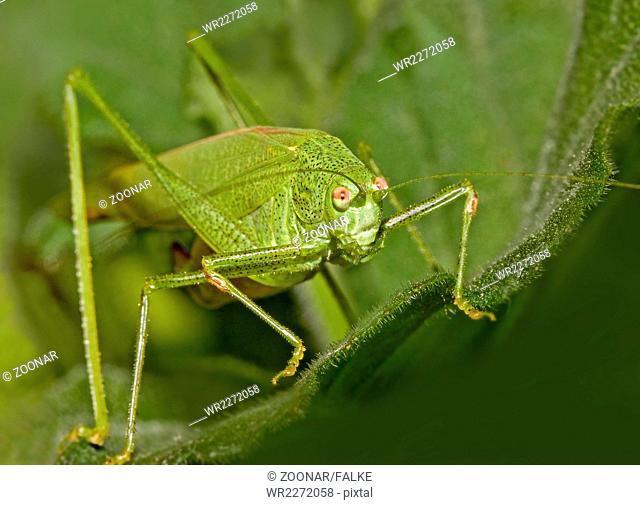 Bush cricket Phaneroptera falcata