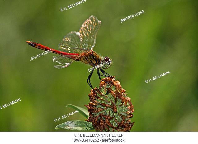 Eastern European sympetrum (Sympetrum depressiusculum), male, Germany