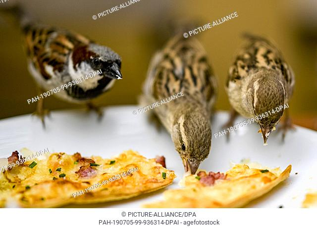 05 July 2019, Hamburg: After a shower of rain in a Hamburg café, sparrows eat the remains of a flaming cake left on a plate. Photo: Axel Heimken/dpa