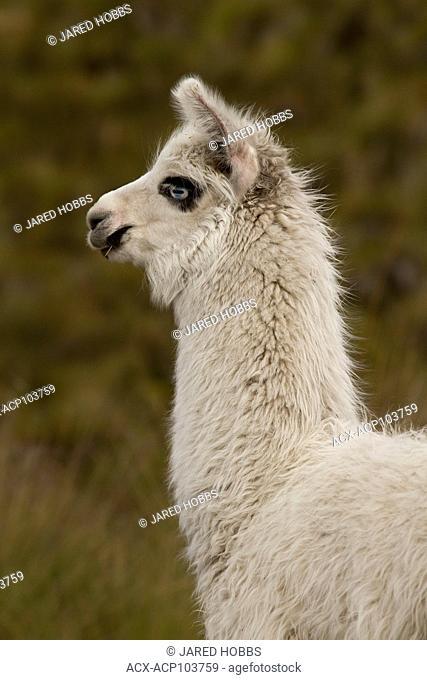 Llama, Lama glama, Highlands, Ecuador, Ecuador