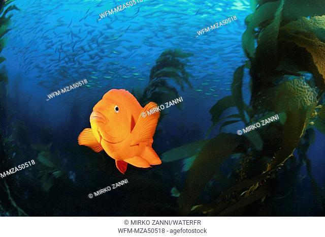 Garibaldi Fish in Kelpforest, Hypsypops rubicundus, Santa Catalina Island, Channel Islands, Pacific, California, USA