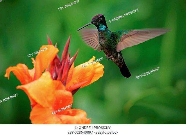 Nice hummingbird, Magnificent Hummingbird, Eugenes fulgens