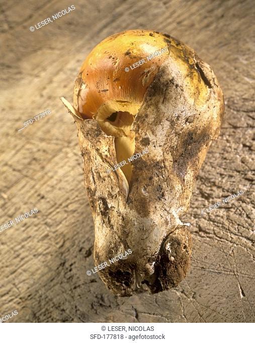 Caesar's mushroom Amanita caesarea, 1 Not available in FR