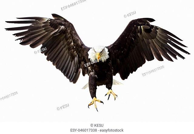 Flying North American Bald Eagle with American flag