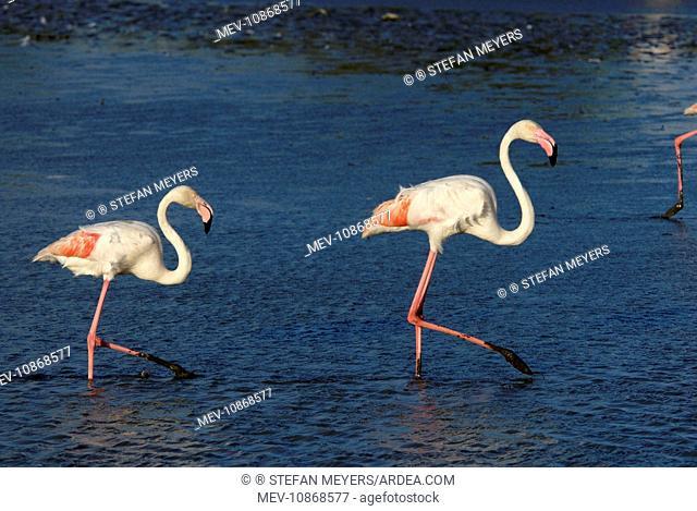 Greater Flamingo (Phoenicopterus ruber). Camargue - France