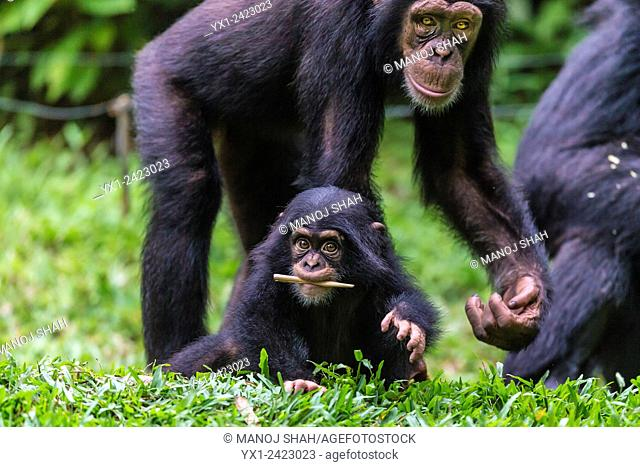 Chimpanzee baby playing with adults, Central African Republic, Africa