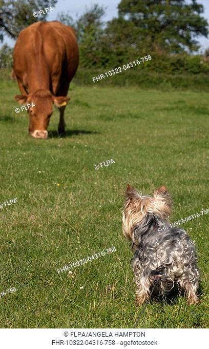 Domestic Dog, Yorkshire Terrier, adult male, on lead, looking at cow grazing in pasture, England, June