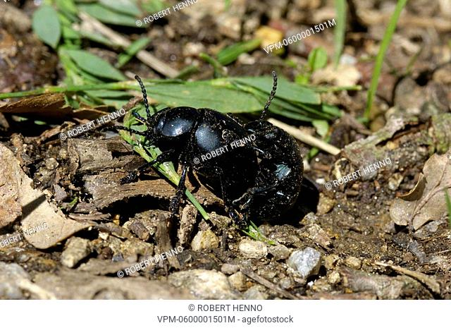 TIMARCHA TENEBRICOSABLOODY-NOSED BEETLEearns its common name from its peculiar form of defence,when threatened it exudes a drop of bright red fluid from the...